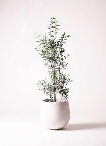 観葉植物 オリーブ 8号 チプレッシーノ エコストーンwhite 付き