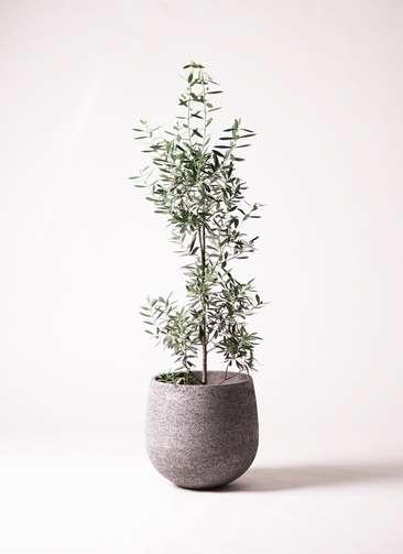観葉植物 オリーブ チプレッシーノ 8号 エコストーンGray 付き