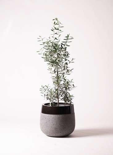 観葉植物 オリーブ チプレッシーノ 8号 ファイバーストーンタウルス 黒 付き