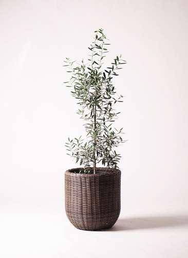 観葉植物 オリーブ チプレッシーノ 8号 ウィッカーポットエッグNT 茶 付き
