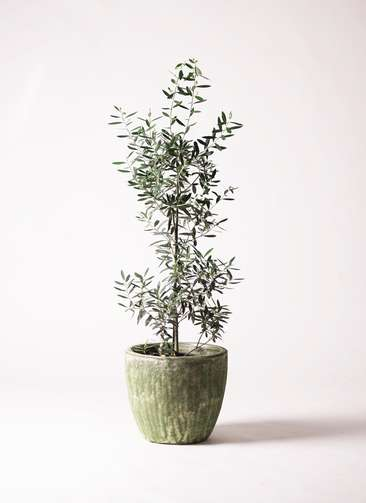 観葉植物 オリーブ チプレッシーノ 8号 アビスソニアミドル 緑 付き