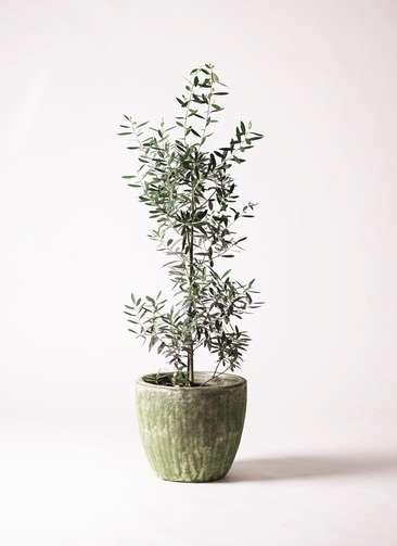 観葉植物 オリーブ 8号 チプレッシーノ アビスソニアミドル 緑 付き