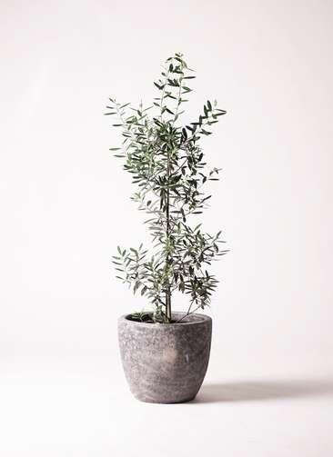 観葉植物 オリーブ 8号 チプレッシーノ アビスソニアミドル 灰 付き