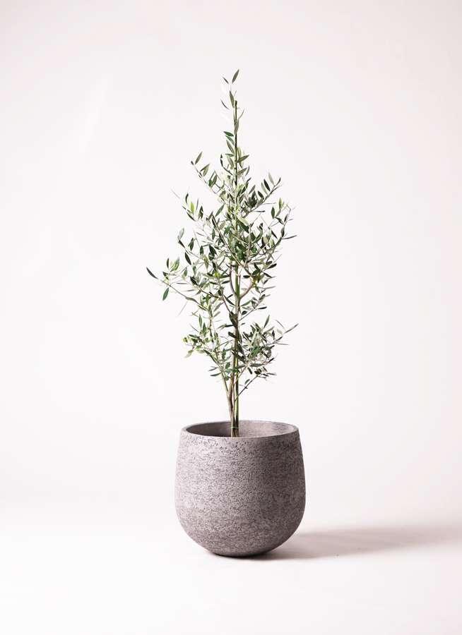 観葉植物 オリーブの木 8号 コロネイキ エコストーンGray 付き
