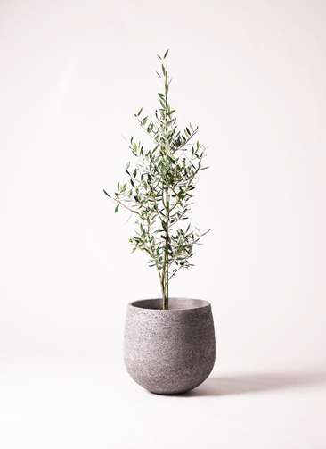 観葉植物 オリーブ 8号 コロネイキ エコストーンGray 付き