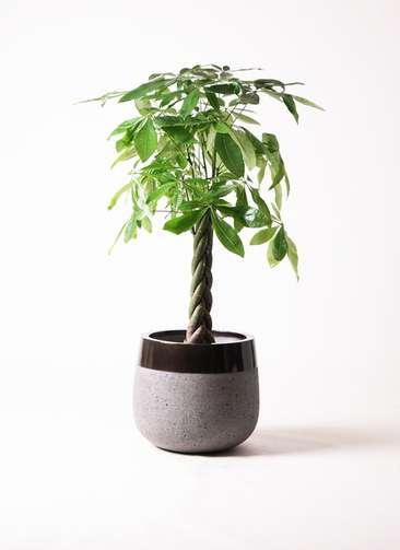 観葉植物 パキラ 8号 ファイバーストーンタウルス 黒 付き