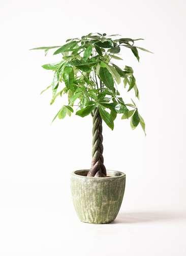 観葉植物 パキラ 8号 アビスソニア ミドル 緑 付き