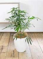 観葉植物 シェフレラ アンガスティフォリア 7号 ボサ造り ラスターポット 付き