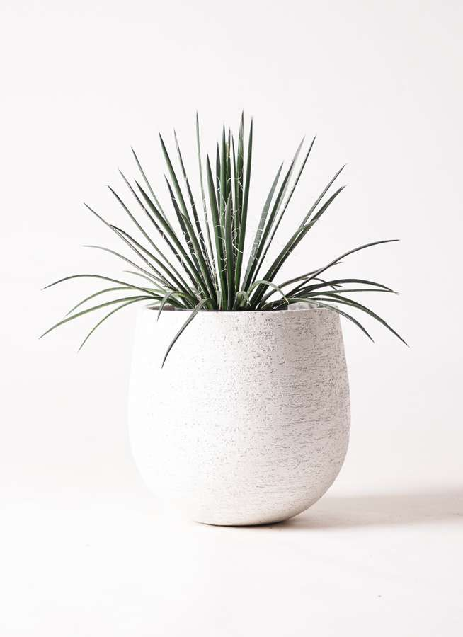 観葉植物 アガベ 6号 ジェミニフローラ エコストーンwhite 付き