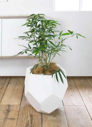 観葉植物 シェフレラ アンガスティフォリア 7号 ポリゴ ヘクサ 白 付き