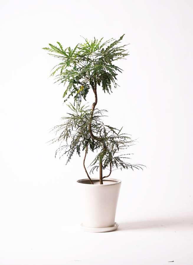 観葉植物 グリーンアラレア 8号 曲り サブリナ 白 付き