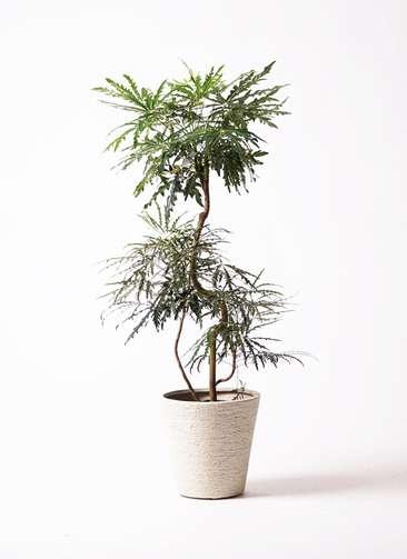 観葉植物 グリーンアラレア 8号 曲り ビアスソリッド 白 付き