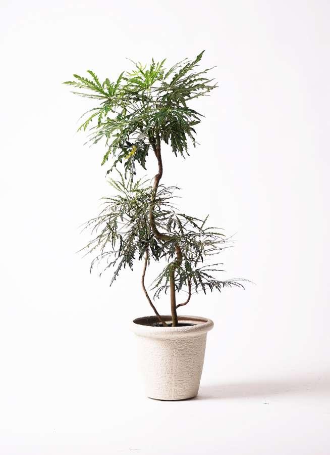観葉植物 グリーンアラレア 8号 曲り ビアスリムス 白 付き