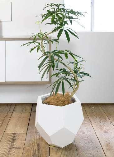 観葉植物 シェフレラ アンガスティフォリア 曲り8号 ポリゴヘクサ 白 付き