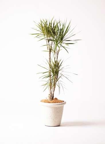 観葉植物 ドラセナ コンシンネ 8号 ビアスリムス 白 付き