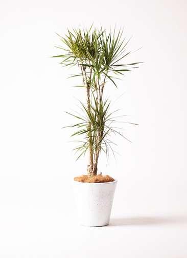 観葉植物 ドラセナ コンシンネ 8号 フォリオソリッド 白 付き