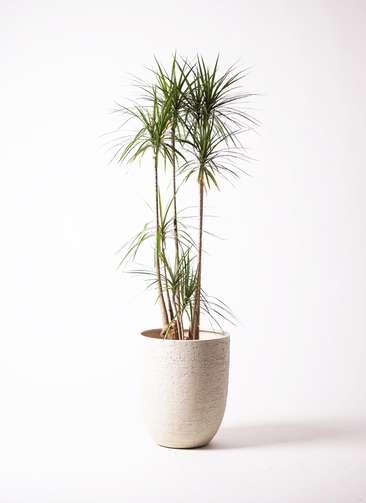 観葉植物 ドラセナ コンシンネ 10号 ビアスアルトエッグ 白 付き