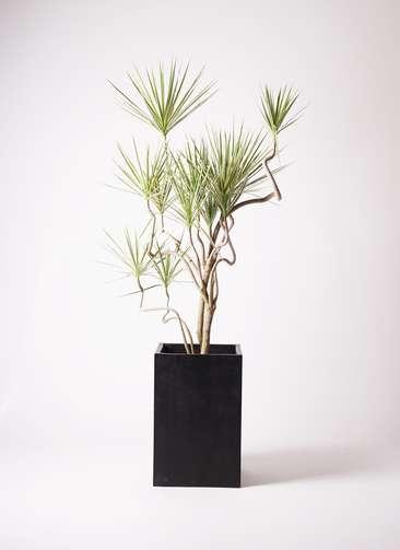 観葉植物 コンシンネ ホワイポリー 曲り 10号 セドナロング 墨 付き