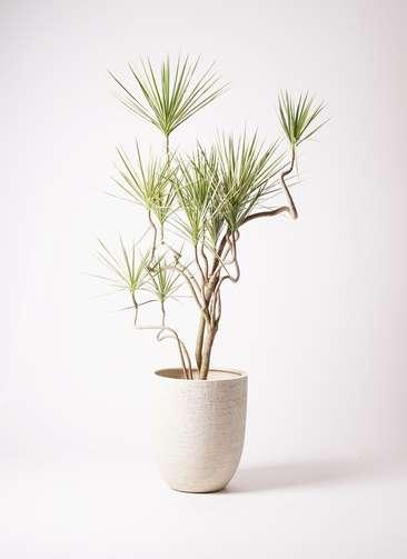 観葉植物 コンシンネ ホワイポリー 曲り 10号 ビアスアルトエッグ 白 付き