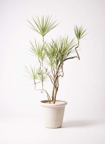 観葉植物 コンシンネ ホワイポリー 曲り 10号 ビアスリムス 白 付き