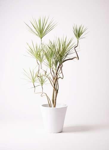 観葉植物 コンシンネ ホワイポリー 10号 曲り フォリオソリッド 白 付き