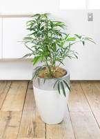 観葉植物 シェフレラ アンガスティフォリア 7号 ファイバーストーン カプリ サンディホワイト 付き