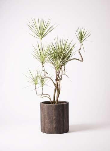 観葉植物 コンシンネ ホワイポリー 曲り 10号 アルファシリンダープランター 付き