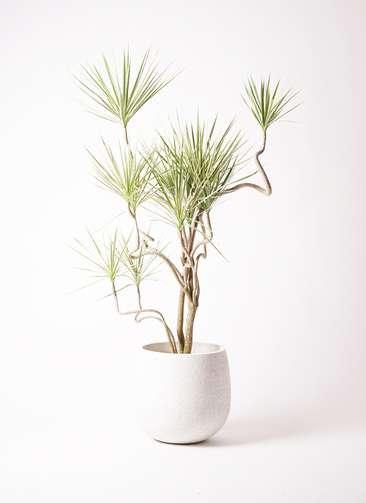 観葉植物 コンシンネ ホワイポリー 曲り 10号 エコストーンwhite 付き