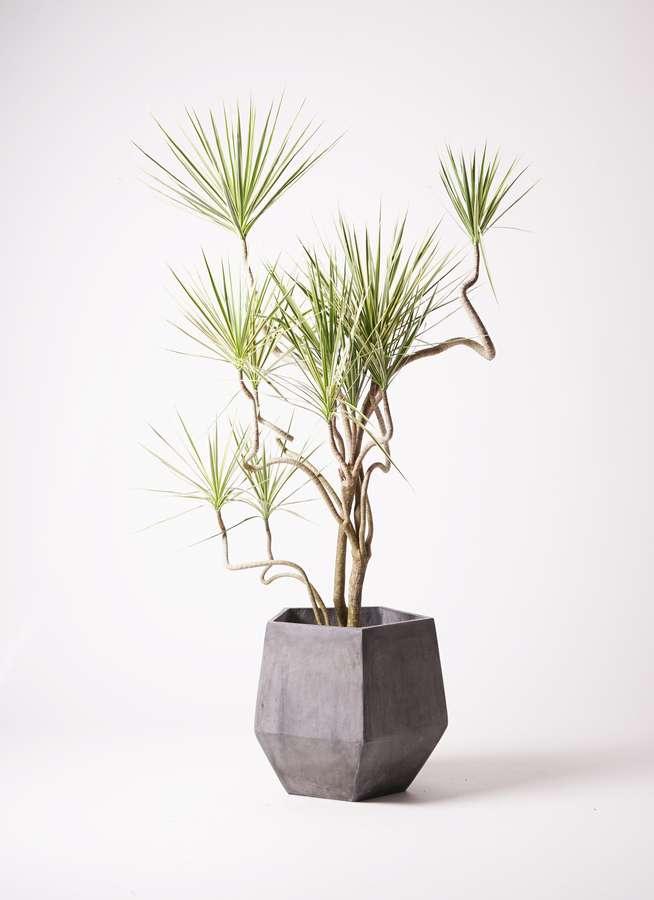 観葉植物 コンシンネ ホワイポリー 10号 曲り ファイバークレイGray 付き