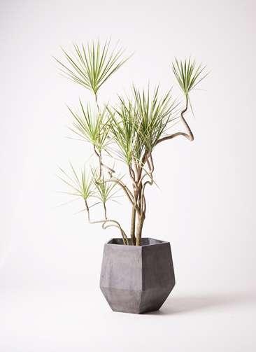 観葉植物 コンシンネ ホワイポリー 曲り 10号 ファイバークレイGray 付き