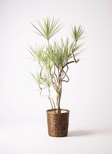 観葉植物 コンシンネ ホワイポリー 曲り 10号 竹バスケット 付き