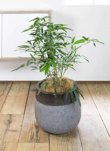 観葉植物 シェフレラ アンガスティフォリア 7号 ボサ造り ファイバーストーン タウルス ミドル 黒 付き