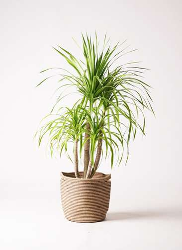 観葉植物 ドラセナ カンボジアーナ 8号 リブバスケットNatural 付き