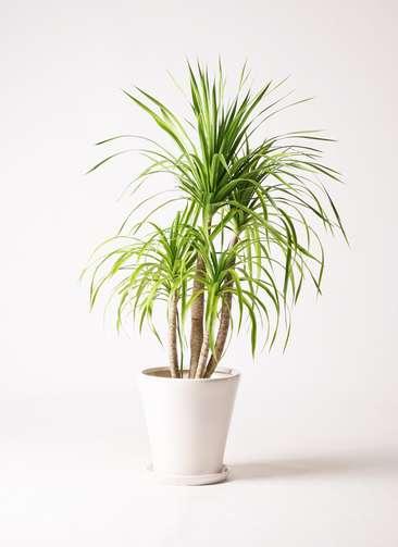 観葉植物 ドラセナ カンボジアーナ 8号 サブリナ 白 付き