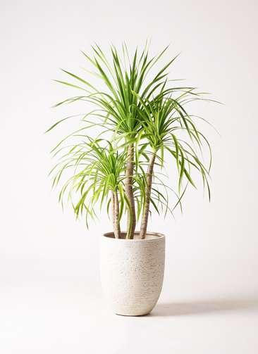 観葉植物 ドラセナ カンボジアーナ 8号 ビアスアルトエッグ 白 付き