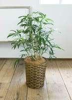 観葉植物 シェフレラ アンガスティフォリア 7号 ボサ造り 竹バスケット 付き