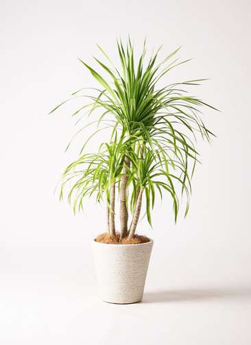 観葉植物 ドラセナ カンボジアーナ 8号 ビアスソリッド 白 付き