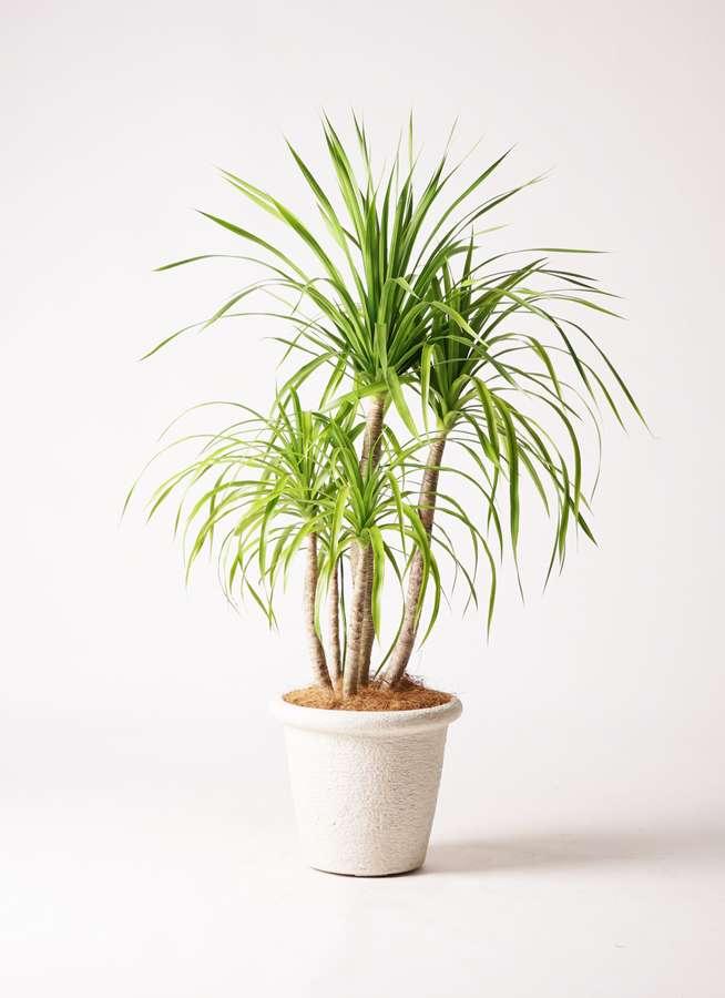 観葉植物 ドラセナ カンボジアーナ 8号 ビアスリムス 白 付き
