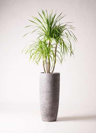 観葉植物 ドラセナ カンボジアーナ 8号 エコストーントールタイプ Gray 付き