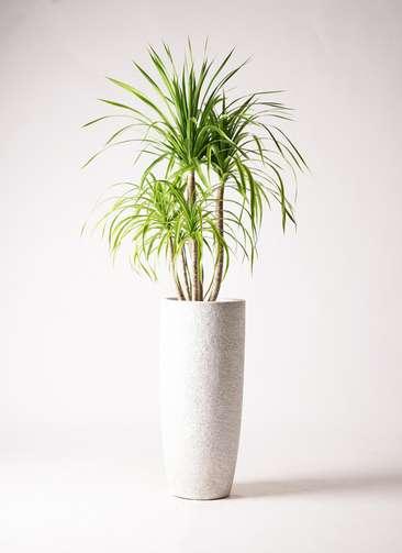 観葉植物 ドラセナ カンボジアーナ 8号 エコストーントールタイプ white 付き