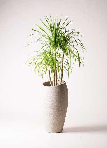 観葉植物 ドラセナ カンボジアーナ 8号 エコストーントールタイプ Light Gray 付き