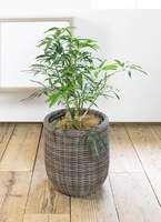観葉植物 シェフレラ アンガスティフォリア 7号 ボサ造り ウィッカーポット エッグ NT 茶 付き