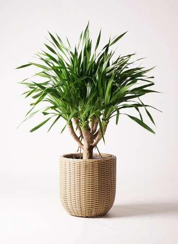 観葉植物 ドラセナ パラオ 8号 ウィッカーポットエッグ ベージュ 付き
