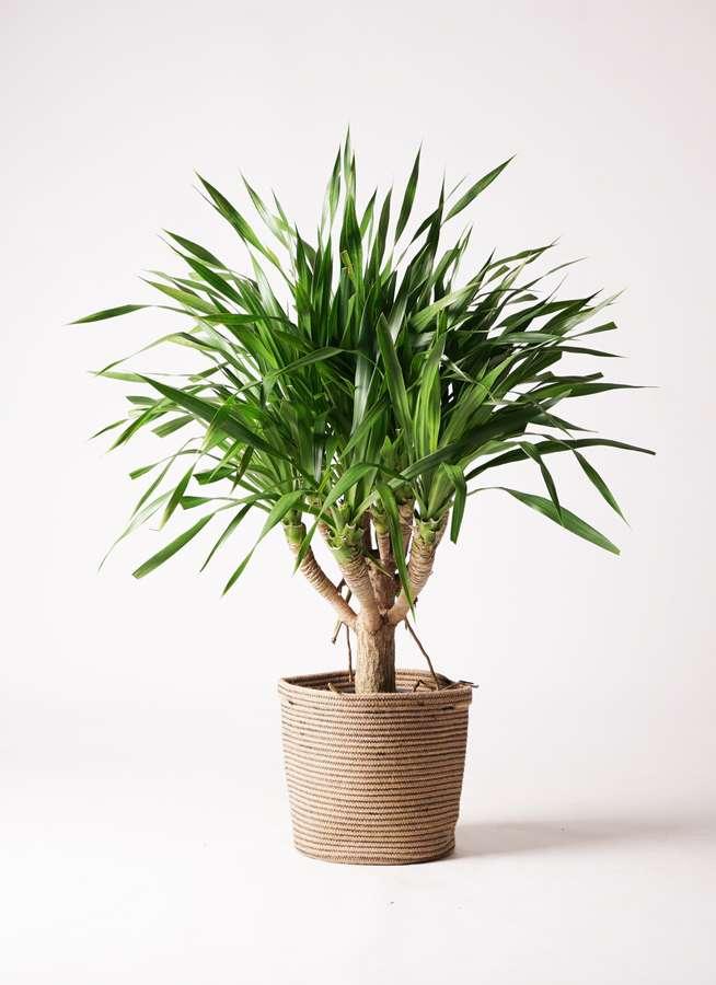 観葉植物 ドラセナ パラオ 8号 リブバスケットNatural 付き