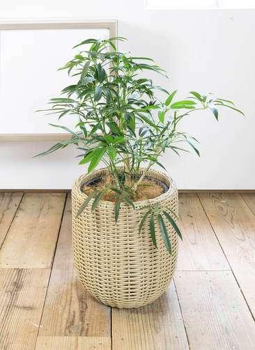 観葉植物 シェフレラ アンガスティフォリア 7号 ウィッカーポット エッグ NT ベージュ 付き