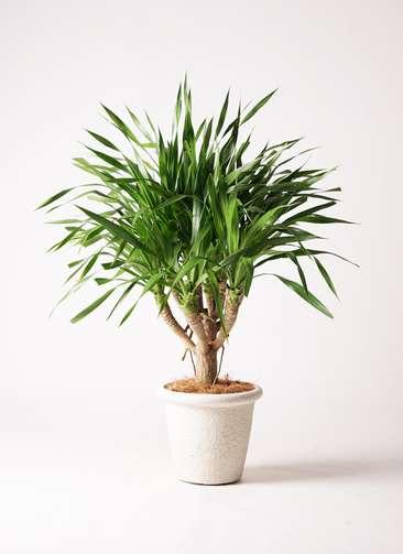 観葉植物 ドラセナ パラオ 8号 ビアスリムス 白 付き