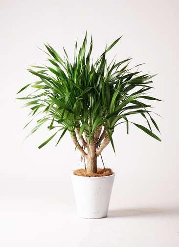 観葉植物 ドラセナ パラオ 8号 フォリオソリッド 白 付き