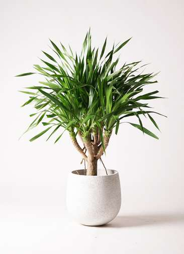 観葉植物 ドラセナ パラオ 8号 エコストーンwhite 付き