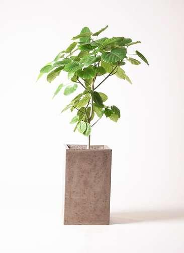 観葉植物 フィカス ウンベラータ 8号 ノーマル セドナロング グレイ 付き