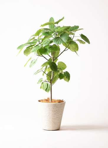 観葉植物 フィカス ウンベラータ 8号 ノーマル ビアスソリッド 白 付き